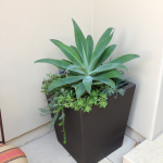 G11-Aloe-Vera-in-Square-container-in-corner-with-white-walls