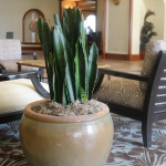G12-Snake-plant-in-brown-container-between-two-chairs