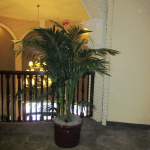 G19-Kentia-Palm-in-burgundy-container-on-gray-carpet