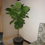 G20-Fiddle-Leaf-in-corner-next-to-chair