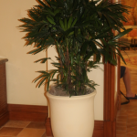 G23-Rhapis-palm-in-tan-container-on-brown-tile-floor