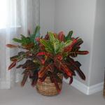 G27-Croton-in-light-brown-basket-near-window