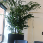 G4-Kentia-Palm-in-black-square-pot-next-to-blue-chairs
