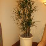 G5-Marginata-in-tan-pot-in-corner-next-to-chair-arm