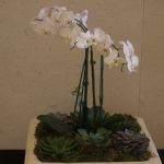 G8-White-orchids-with-succulents-in-square-tan-container