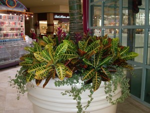 S1-Bromeliads,-croten,-ivy-in-large-white-container